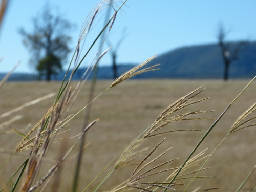 b grasses