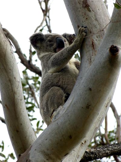 f koala1
