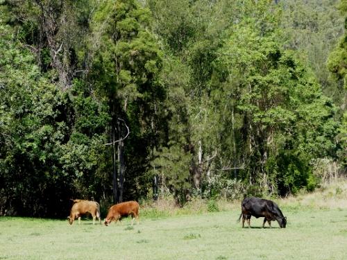 bb cattle